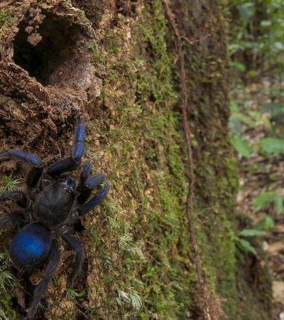 Besouro aquático, aranha elétrica e mais 30 novas espécies descobertas na Amazônia