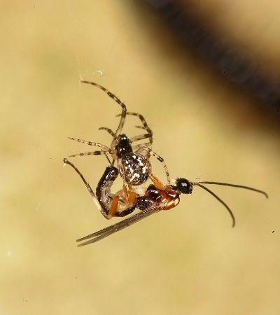 A recém descoberta espécie de vespa que transforma aranhas em zumbis