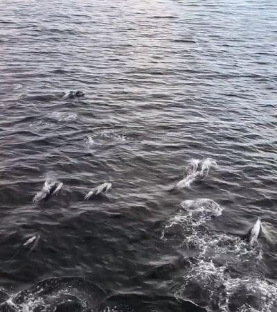 Passageiros de balsa são presenteados com espetáculo de 200 golfinhos