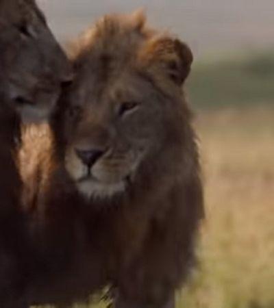 Leão é salvo por irmão de ataque de 20 hienas numa treta digna de O Rei Leão