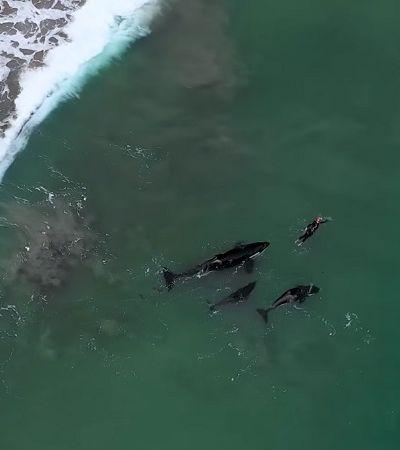 Drone flagra mulher sendo cercada por orcas enquanto nadava em vídeo impressionante