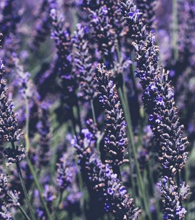 Conheça algumas plantas que são repelentes naturais de insetos