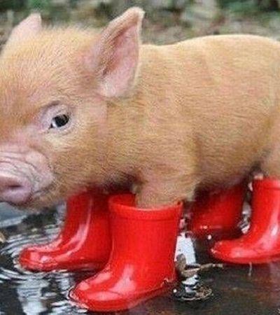 Ano novo Chinês: o que o ano do porco reserva para nós em 2019
