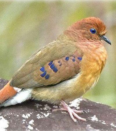 Pássaro de olhos azuis considerado extinto reaparece em Minas Gerais