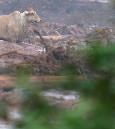 Animais atolados na lama em Brumadinho são sacrificados a tiros