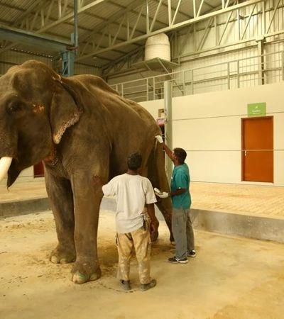 Depois de passar 70 anos em cativeiro, elefante goza liberdade na Índia