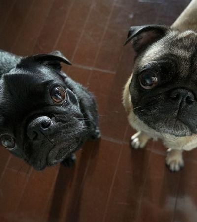 Thread no Tumblr discute porque deveríamos ter muita dó dos pugs