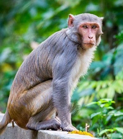 Vírus de herpes mortal está se disseminando entre macacos na Flórida