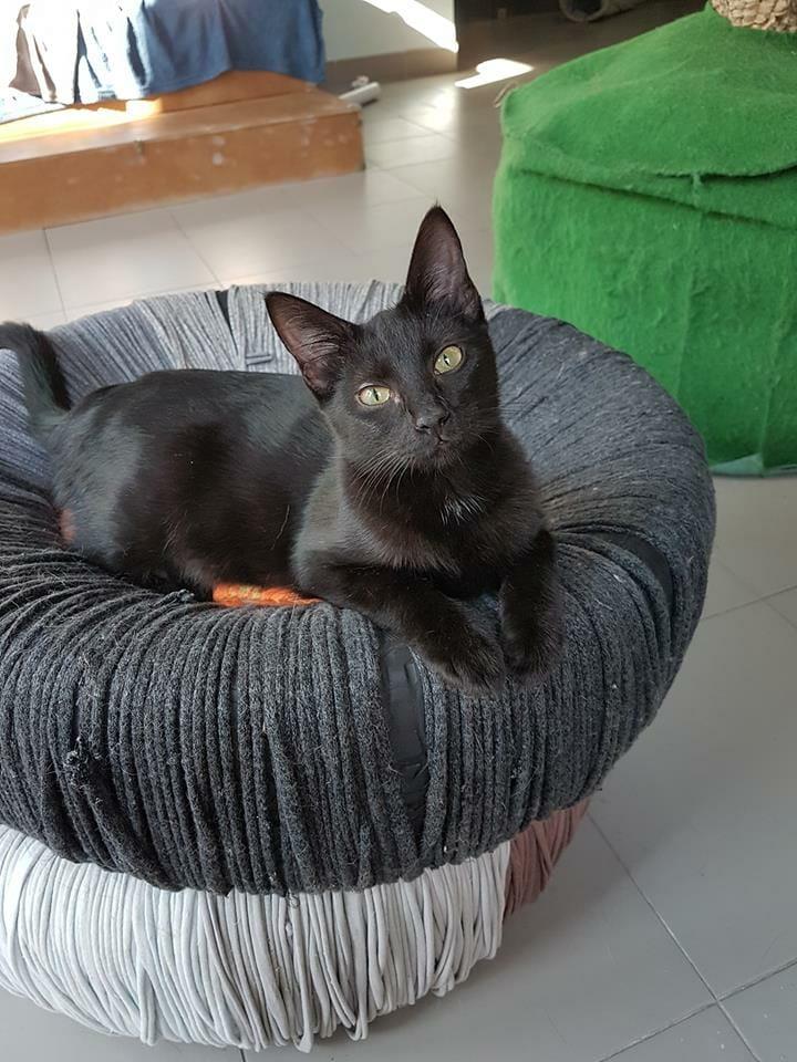 Gato para adoção em Cat Café de Coimbra