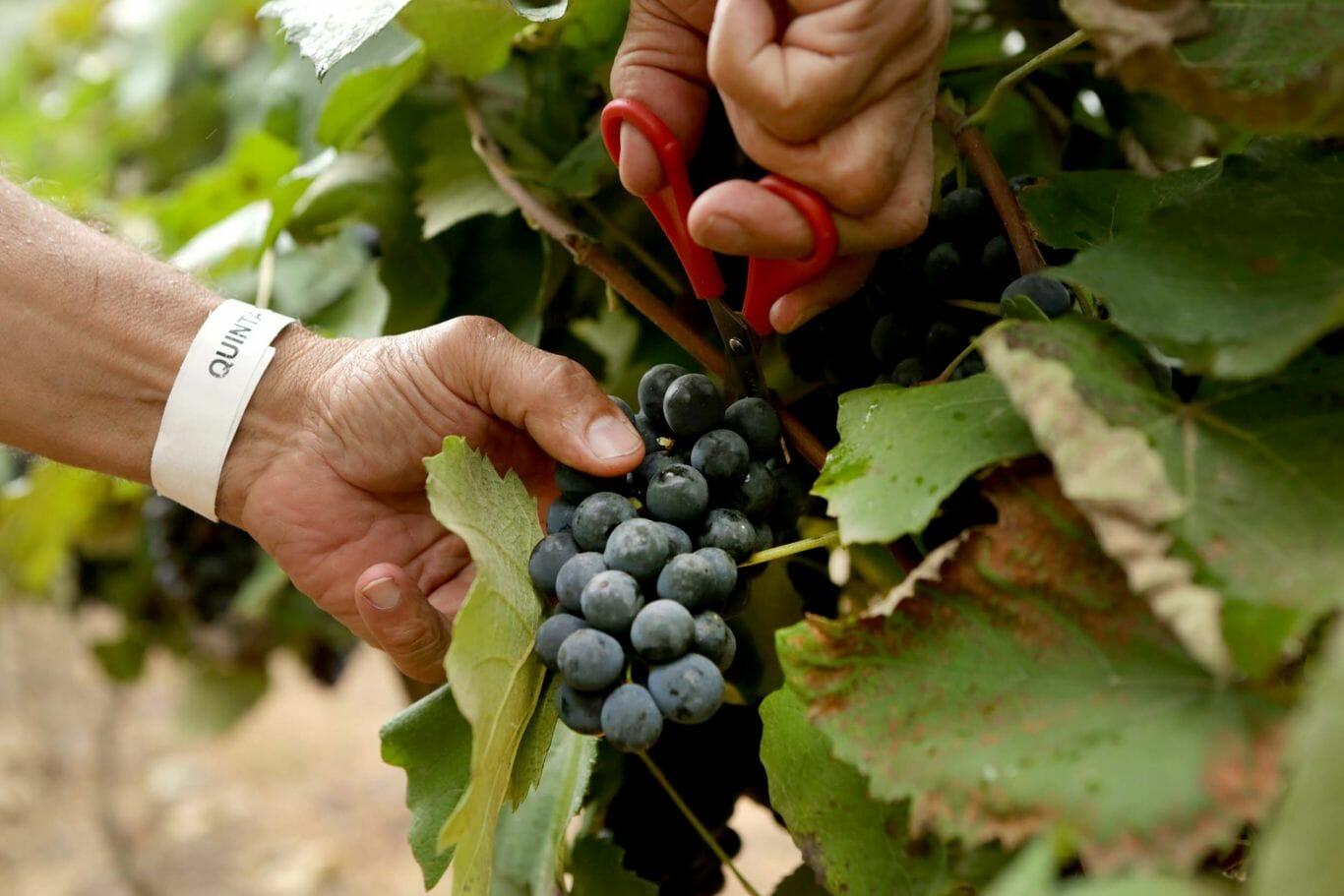 festa da uva 5
