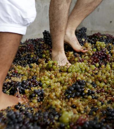 Vinícolas de São Roque promovem festa da colheita da uva neste fim de semana
