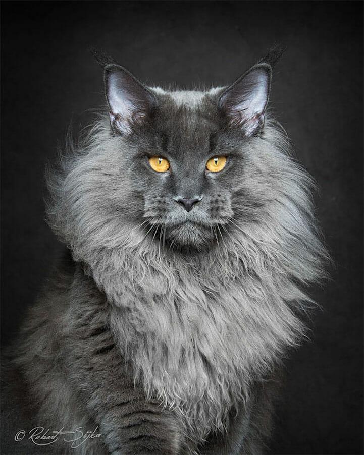 gatos gigantes 4