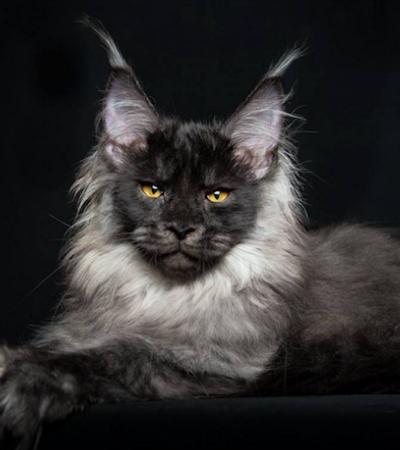 Estes retratos transformam gatos gigantes em seres mais que especiais
