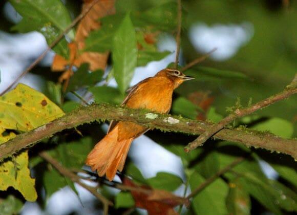 pássaros brasileiros extintos 1