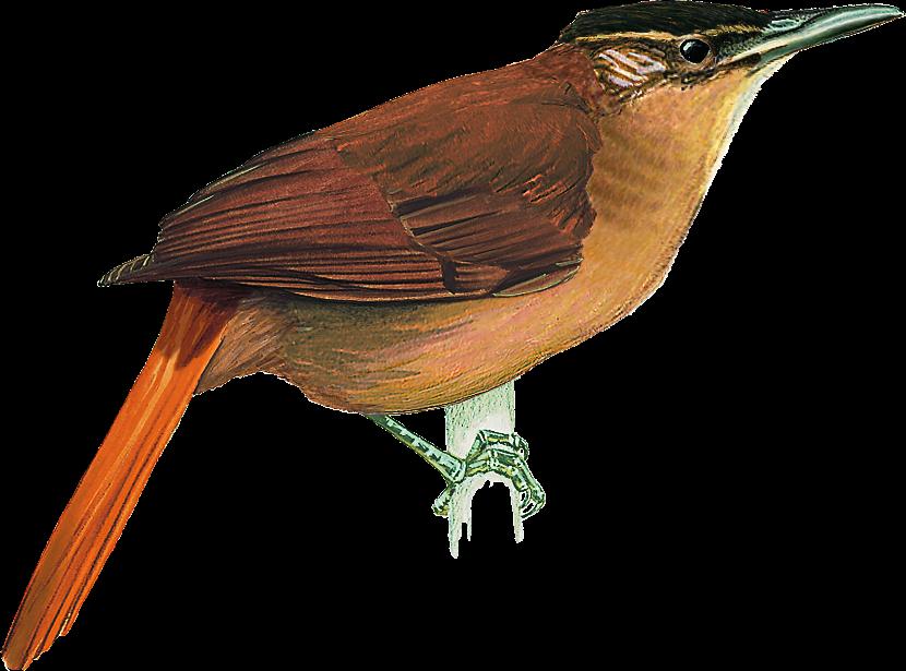 pássaros brasileiros extintos 2
