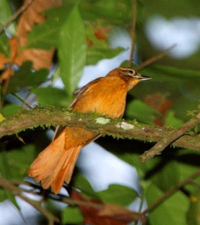 Brasil tem mais duas espécies de pássaros extintas em 2018