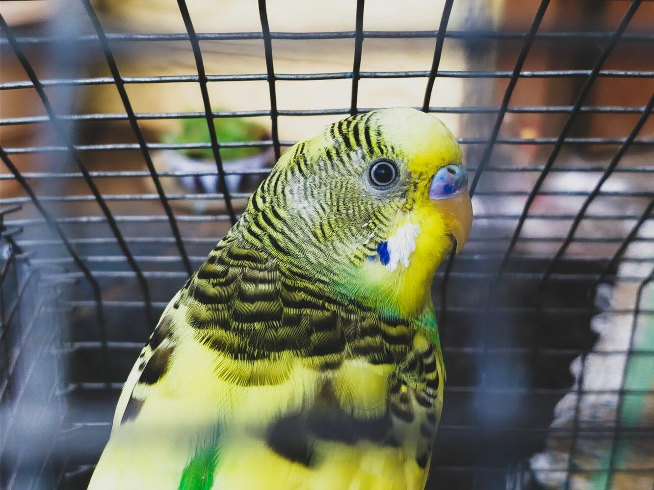 Índia pássaro gaiola 2