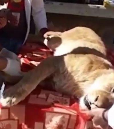 Leoa tem garras arrancadas para entreter visitantes de zoológico
