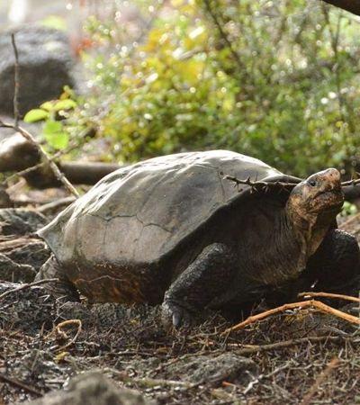 Tartaruga gigante que estava 'extinta' há 110 anos é reencontrada em Galápagos