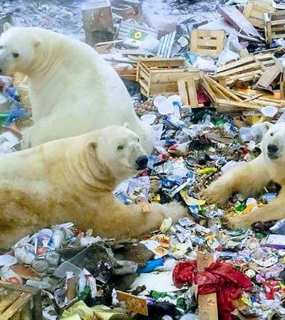 Ursos polares famintos causam estado de emergência em arquipélago russo