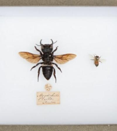 Após 38 anos desaparecida, abelha gigante conhecida como 'buldogue voador' é vista na Indonésia