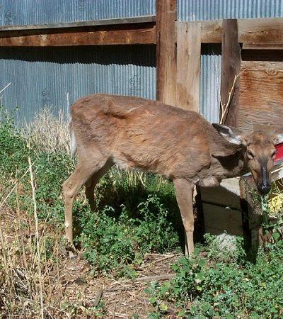 Doença dos 'cervos zumbis' se espalha rapidamente pelos EUA e pode atingir humanos