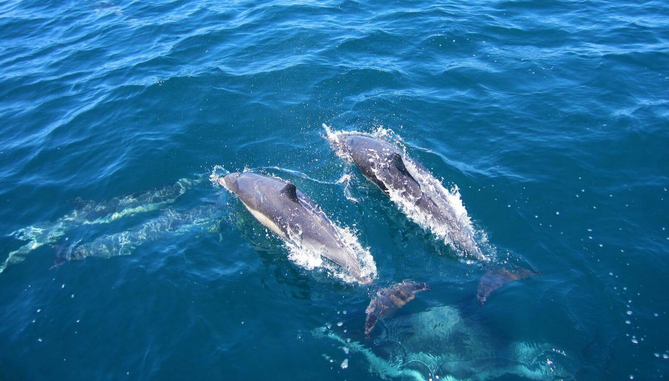 golfinho macho amizade 1