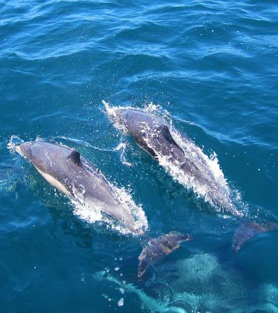 Golfinhos machos mantêm amigos que podem contar durante a vida toda