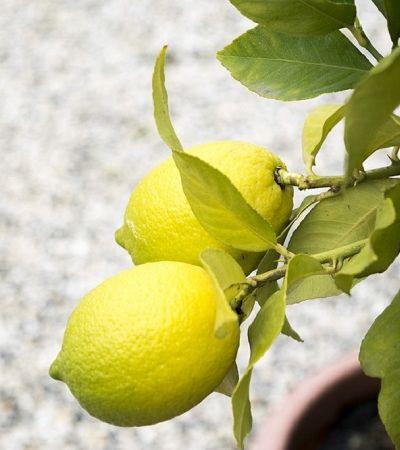 Aprenda a plantar limão na caneca para um ambiente perfumado e livre de insetos