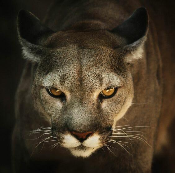 duda Mascotas Composición  Puma oriental é oficialmente extinto e deve ser 'substituído' por leões da  montanha | Hypeness – Inovação e criatividade para todos.