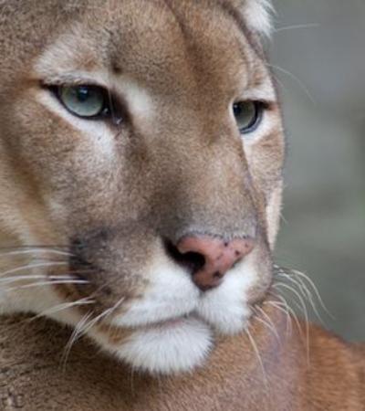 Puma oriental é oficialmente extinto e deve ser 'substituído' por leões da montanha