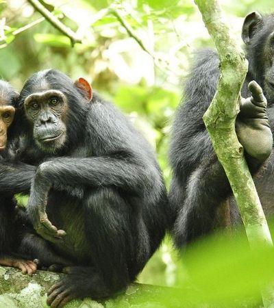 Os chimpanzés têm cultura e tradições passadas de pai pra filho. E elas estão em perigo