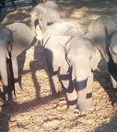 Ativistas filmam filhotes de elefantes capturados para venda a zoológicos