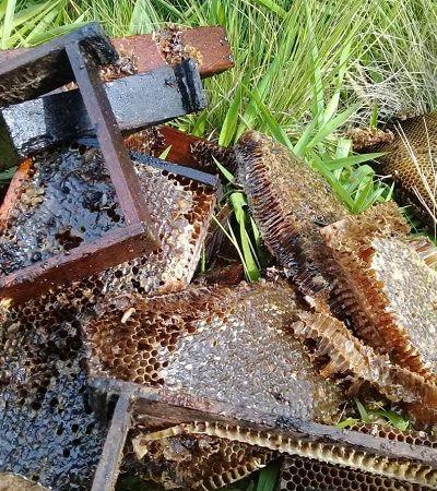 Apicultores brasileiros reportam meio bilhão de abelhas mortas em 3 meses