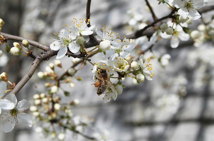 ajudar abelhas sobreviver 7