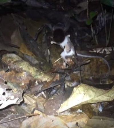Vídeo assustador mostra tarântula atacando filho de gambá na Amazônia