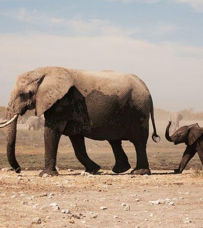 Elefantes africanos estão evoluindo e nascendo sem presas para evitar caçadores