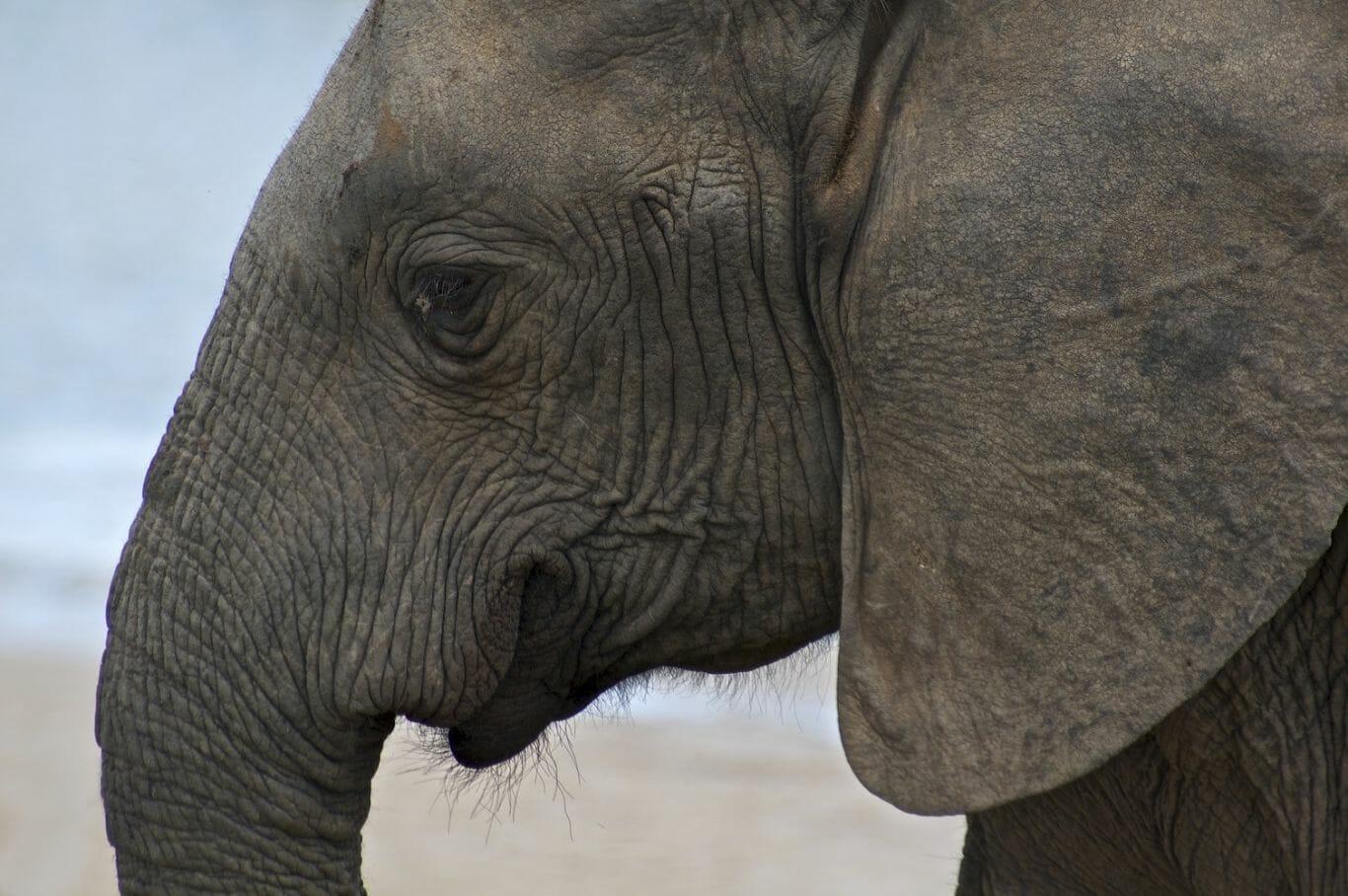 Elefante sem presas