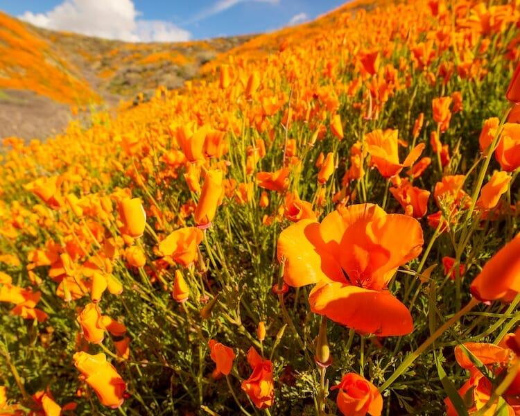 papoulas laranjas Califórnia 1