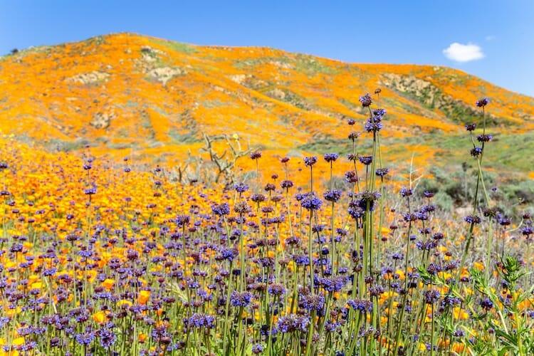 papoulas laranjas Califórnia 2