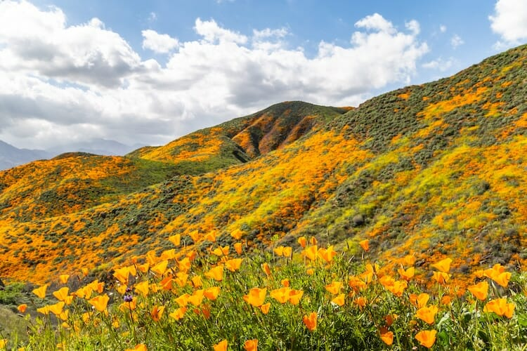 papoulas laranjas Califórnia 3