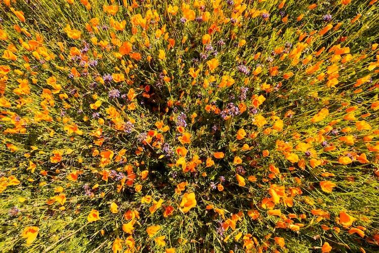 papoulas laranjas Califórnia 4