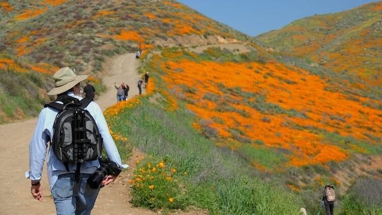 papoulas laranjas Califórnia 6