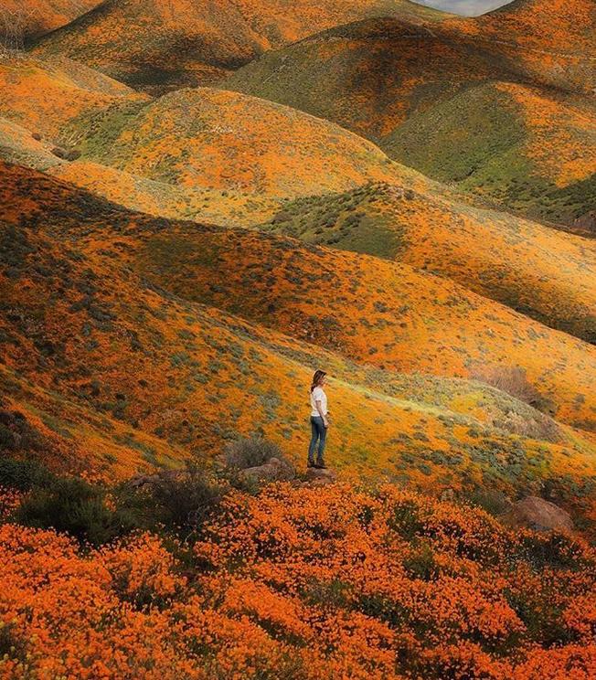papoulas laranjas Califórnia 8