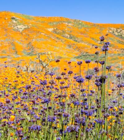 O incrível fenômeno que infestou as montanhas da Califórnia de papoulas laranjas