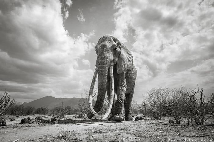 rainha elefanta 1