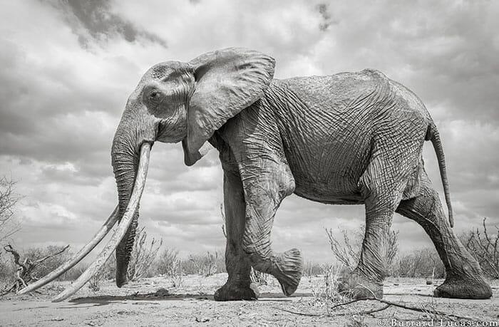 rainha elefanta 2