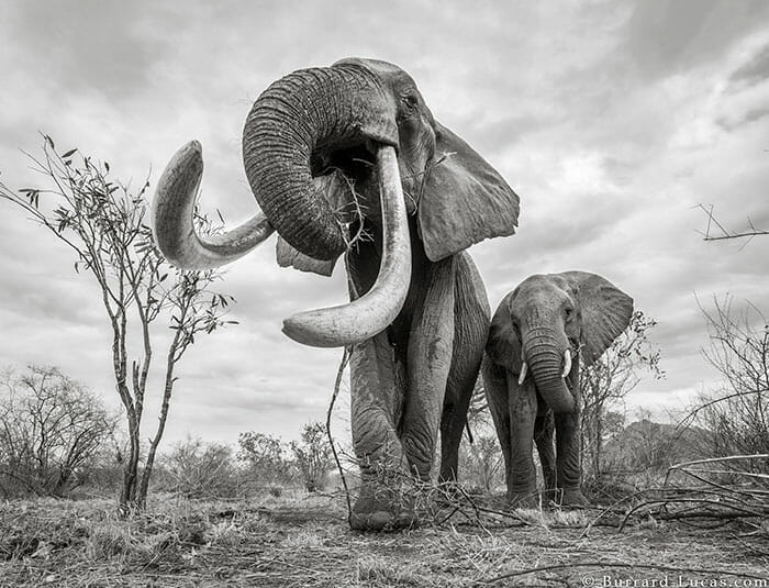 rainha elefanta 3