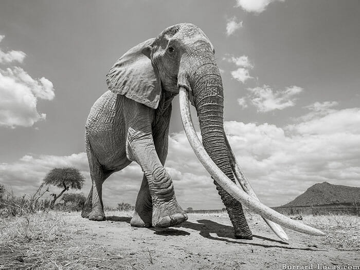 rainha elefanta 4