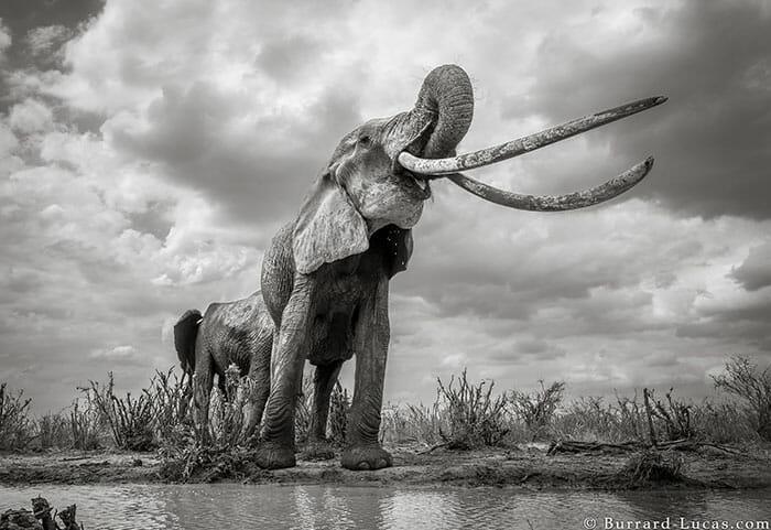 rainha elefanta 5